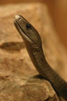 Black Mamba #1 most deadly snake in the world. 1 drop kan kill 86 full grone men.