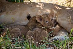 Enjoy our pic of the day of two lion cubs feeding! Typically, 2-4 cubs are born to a litter, but they can be as large as 7! And although cubs begin to hunt independently at around 18 months, they rarely leave their pride before the age of 2. Learn more about lions & Panthera's solution to protecting & increasing the world's remaining African lion populations through Project Leonardo @ http://www.panthera.org/programs/lion/project-leonardo