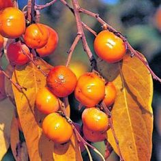 I am planting an American Persimmon tree outside of my dining room bay window. I dream of red/orange fruit dangling from snow covered branches.