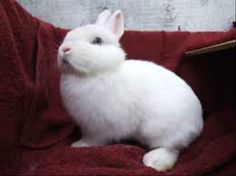 Look how pretty! Buffy is a sweet small dwarf bunny is looking for a home in the Vancouver area that will allow lots of exercise and love.