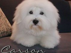 """Coton de Tulear dog.  The """"very best"""" hypoallergenic dog breed there is.  We have proved it in our family :)"""