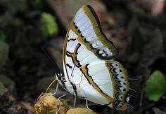 雙尾蝶吸食 | 雙尾蝶真是外型搶眼的蝴蝶.白底的翅裳加上亮藍的雙尾,可謂高雅俊美;黃色的口器和深藍的複眼,亦是不俗;而粉… | Flickr