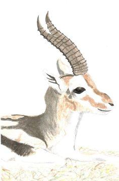 Gazelle Watercolor