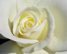 White Rose (Julie)