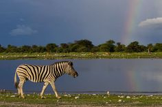 Plains zebra   Author Yathin S Krishnappa  http://creativecommons.org/licenses/by-sa/3.0/deed.en