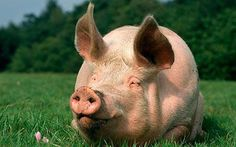 Pigs came from Europe and were shipped over to the Americas. They were intended for bacon and ham but were only used for ham.