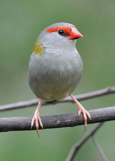 ♥ Red-browed Finch ~ Neochmia temporalis