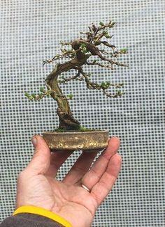 php garden miniature bonsai trees Bonsai Tree Types, Indoor Bonsai Tree, Bonsai Plants, Bonsai Garden, Bonsai Trees, Mame Bonsai, Wisteria Bonsai, Moss Garden, House Plants Decor