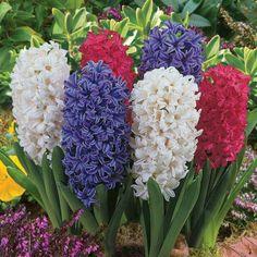 Hyacinths - Home and Garden Design
