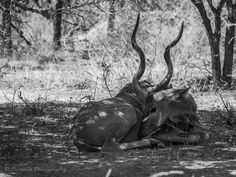 Curled - Kudu bulls bear massive, long, spiral horns which reach record lengths of up to 1.8 m. Horns grow to their full length at the age of six years. Bulls also attain much larger sizes than cows. Bulls can weigh as much as 300 kg with a shoulder height of 1.4 m and cows weigh 210 kg with a shoulder height of 1.25 m. Tawny-brown to grey-brown coat, marked with white stripes on flanks which vary greatly in shape, size and pattern. V-shaped band on the forehead and white spots on cheeks.