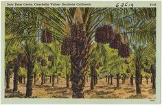 Date Palm Grove, Coachella Valley, Southern California