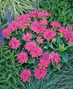 Pardon My Pink bee balm - Tuck this sweet and petite perennial into the front of your flower border where it will create a colorful edge of true pink flowers in high summer. Butterflies adore it!  Also, mildew resistant.