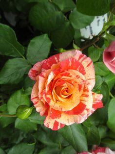 Prachtvolle Rosen bei den Gartentagen im Stift Seitenstetten Spring, Flowers, Plants, Glitter, Lawn And Garden, Nice Asses, Florals, Plant, Flower