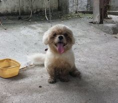 My name is Muffin.  I always like to dipped my feet in the water when I need a drink, and I can still smile even when I look all muddy. #dog   #pet  #shitzu