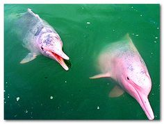 Yes, there is such a thing as a pink porpoise.