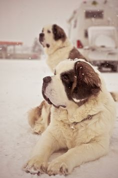 St. Bernards in the snow