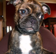 Buggs - Boston Terrier x Pugg