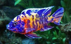 Find information about keeping the OB Peacock Cichlid or Aulonocara SP. (Hybrid) in a home aquarium, including advice for feeding and breeding your OB Peacock Cichlid. Cichlid Aquarium, Cichlid Fish, Tropical Fish Aquarium, Freshwater Aquarium Fish, Colorful Animals, Colorful Fish, Pet Shop, African Cichlids, Malawi Cichlids
