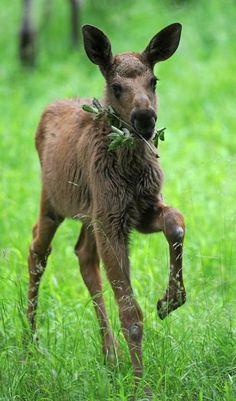 Moose calf in field of fresh green grasses.