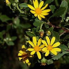 Chrysanthemoides monilifera is an excellent plant for screens, windbreaks or tumbling over rocks. A must-have for the bird garden. Plant in full sun in well-drained soil. It requires a protected spot on the Highveld. Hedges, Screens, Shrubs, Wild Flowers, Rocks, Sun, Bird, Garden, Plants