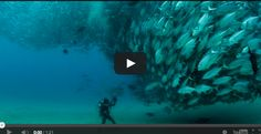 [VIDEO] Fish Tornado~ A swarm of Jack Fish dwarfs an underwater photographer (video is by Octavio Aburto) in a phenomenal courtship display.