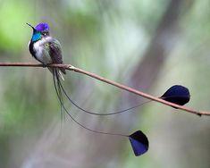 Those tail feathers! Love it.  Marvelous Spatuletail #hummingbird