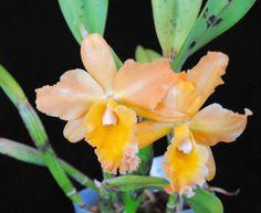 Brassolaeliocattleya George King Dora G.