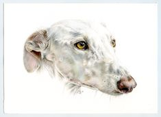 Galgo blanco. Greyhound white. Ilustración lápiz. Illustration pencil