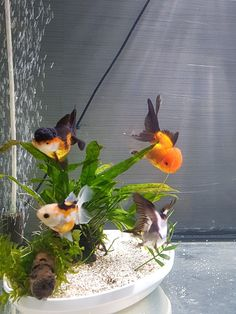 Aquariums, Fishing, Plants, Pisces, Animales, Goldfish, Fish, Tanked Aquariums, Fish Tanks