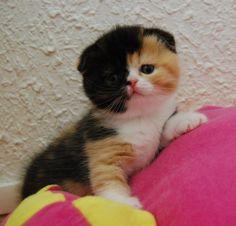 scottish fold kitten. I would name him harvey dent