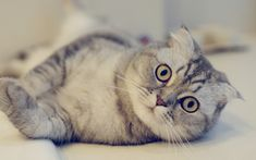 Cute Scottish Fold cat on a light background wallpapers and images ...