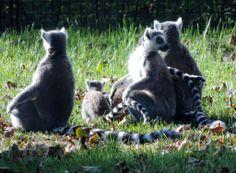 Lemur family, Camperdown Wildlife Park