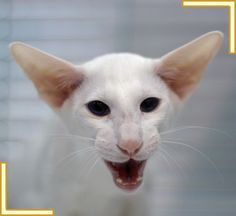 Yep.  Looks like a typical Oriental Shorthair cat - mouth wide open and talking :)