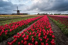 Windmills and Tulips, Holland - Windmills and tulip fields full of flowers in…