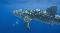 Whale Shark diving is best experienced in Belize since we get the highest concentrated numbers in our thriving waters off the reef. The high numbers of spawning fish make this a gourmet buffet for these gentle giants and we can take you to them with ease. #robertsgrove