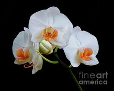A fabulous piece of digitally enhanced orchid imagery, Tessa- the blossoms are magnificent against that deep black background!!