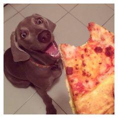 Resultado de imagen para weimaraner pizza
