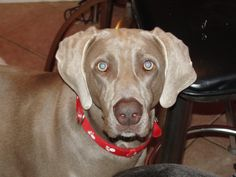 Beautiful Weim:-)