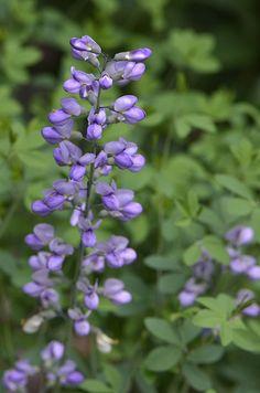 Baptisia 'Purple Smoke' (False Indigo)