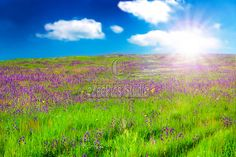 Stock photo available for sale at eZeePics: Nature Backgrounds - Field with purple flowers in the sunrise light.
