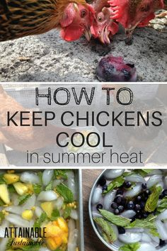 Summer heat can be hard on hens. Help your chickens keep their cool! Homestead ~ poultry ~ chickens