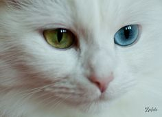 Khao Manee kitty. This breed is often born partially deff, or prone to become deff., and yes, they are born with two different colored eyes.