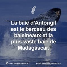 Chaque année, de juillet à septembre, les baleines font des milliers de km pour rejoindre les eaux chaudes bordant le nord-est de Madagascar pour se reproduire et mettre bas. Ces derniers vivront les premiers mois dans cette zone calme avant de retourner vers l'Antarctique.  Une traversée périlleuse pour se retrouver #Home #Baby #Madagascar #Baleineaux #BaleineàBosse #Lifeisincredible #Monpremiercri