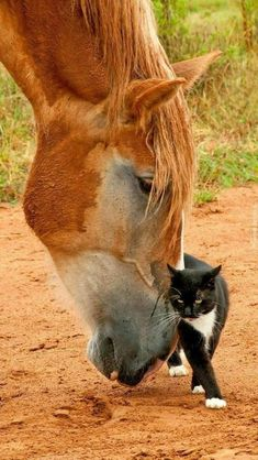Sweet Horse & Cat Nuzzle