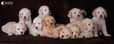 Golden Retriever Puppies! I'll take the furball with the sweet black nose and puppy breath, please!