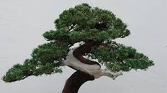 "Bonsai theft: Japanese couple robbed of tree Bonsai theft: Japanese couple robbed of tree Japanese bonsai expert Fuyumi Iimura has begged the thieves to water her tree ""children"". Bbc News Today, Hosta Flower, Japanese Couple, Old Trees, Miniature Plants, Image Caption, Garden Spaces, Year Old, Art Forms"