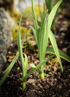 Healthy and beautiful garlic. Do not start to grow them by planting them in June. I learned this the hard way.