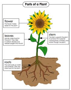 Check out all the great resources Super Teacher Worksheets has for teaching the parts of a plant. Hang this colorful poster in your classroom and let the learning begin! Preschool Science, Preschool Lessons, Science Lessons, Science For Kids, Science And Nature, English Worksheets For Kids, 1st Grade Worksheets, Science Worksheets, Teacher Worksheets