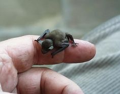 BUMBLEBEE BAT - How adorable! - the incredible bumblebee bat is the SMALLEST mammal in the world, weighing about the weight of a penny. It is listed in the TOP 12 MOST endangered list. Get rid of toxic chemicals and help save these wonderful creatures! Baby Animals, Funny Animals, Cute Animals, Bizarre Animals, Exotic Animals, Small Animals, Beautiful Creatures, Animals Beautiful, He's Beautiful