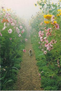Monet's Gardens at Giverny, France. - Pink cosmos and golden sunflowers tower above Fifi, the calico cat who resides in Monet's garden, as she strolls down a gravel path in the silver mist of dawn.